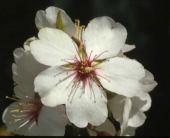 Amygdalus communis Almond. Rosaceae