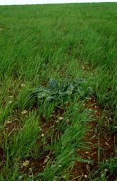 Mandragora officinarum. Mandrake. March. March. Solanaceae