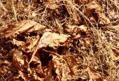 Mandragora officinarum. Mandrake. Summer condition, near Amman, Jordan. Solanaceae