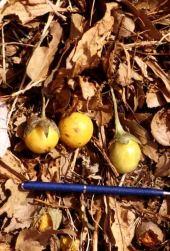 Mandragora officinarum. Mandrake. Fruits, near Amman, Jordan. Solanaceae