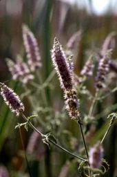 Mentha longifolia. Mint. Lamiaceae