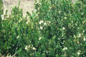 Myrtus communis. Myrtle. Near Tel Dan, Israel. Myrtaceae