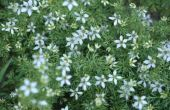 Nigella sativa Ranunculaceae