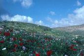 Anemone coronaria and other wildflowers. Near Ain Auja, Palestine. Ranunculaceae
