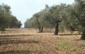 Olea europaea. Olive. Well kept grove. Kufur Yusef, Galilee. Oleaceae