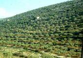 Olea europaea. Olive. Mountains of Palestine. Oleaceae