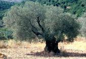 Olea europaea. Olive. Kufur Sumeah, Galilee. Oleaceae