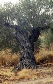 Olea europaea. Near Ramallah, Palestine. Oleaceae