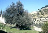 Olea europaea. Olive. Garden of Gethsemane, Jerusalem. Oleaceae