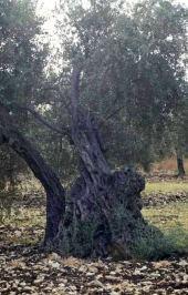 Olea europaea. Olive. Kufur Yusef, Galilee. Oleaceae