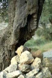 Olea europaea. Olive. Oleaceae