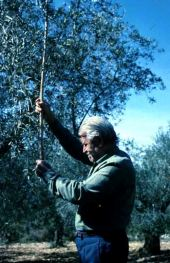 Olea europaea. Olive. Harvesting. Oleaceae