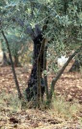 Olea europaea. Olive. Suckers arising from base of tree. Oleaceae