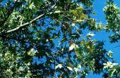 Platanus orientalis. Plane tree. Platanaceae