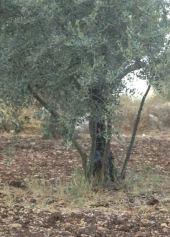 Olea europea. Olive. Sprouts from older tree. Kufur Yusef, Galilee. Oleaceae