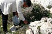 Origanum syriacum. Hyssop. Harvest in hills near Kufur Yusef, Galilee