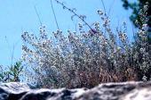 Origanum syriacum. Hyssop. near Kufur Yusef, Galilee