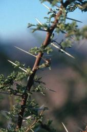 Acacia sp. Thorns