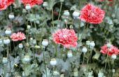 Papaver somniferum. Opium poppy. Cultivated. Idlib, Syria. Papaveraceae