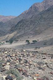 Acacia sp. (in distance). Wadi Feinan, Jordan. Fabaceae