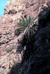Phoenix dactylifera. Wild date palm, Dead Sea, Jordan. Arecaceae
