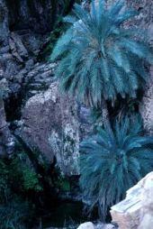 Phoenix dactylifera. Canyon near Dead Sea, Jordan. Arecaceae