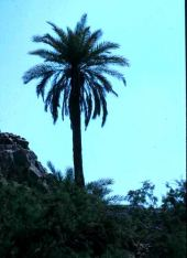 Phoenix dactylifera. Date palm. Arecaceae
