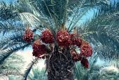 Phoenix dactylifera. Date palm. Fruits. Arecaceae