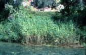 Phragmites australis. Reed. Ain Auja, near Jericho. Poaceae