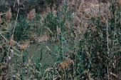 Phragmites communis Reed. Baptism site, Jordan River, Jordan. Poaceae