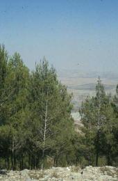 Pinus halepensis. Mount Gerazim, Palestine. Pinaceae