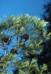 Pinus halepensis. Pinaceae