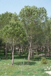 Pinus pinaea(?). Mount Carmel, Israel. Pinaceae