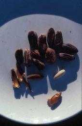 Pinus pinaea. Seeds. Pinaceae