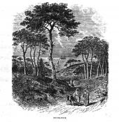 Pinus pinea. Stone pine. Lithograph from
