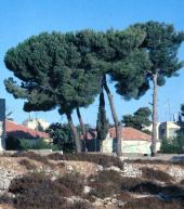Pinus pinea. Stone pine. Ramallah, Palestine. Note the characteristic crown. Pinaceae