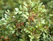 Pistacia atlantica. Atlantic terebinth. Not the terminal leaflet characteristic of this species. Mt Tabor, Israel. Anacardiaceae