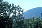 Pistacia atlantica. Anacardiaceae