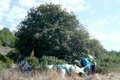 Pistacia atlantica. Kufur Yusef, Galilee. Tree honoring dead. Anacardiaceae