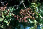 Pistacia atlantica. Fruits. Anacardiaceae
