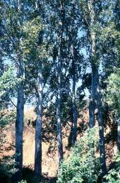 Populus alba. White poplar.Tell Dan, Israel. Salicaceae