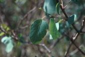 Populus euphratica Jordan Valley, Jordan. Salicaceae