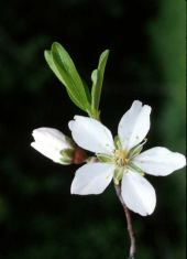 Prunus amygdalus. Almond. Flower and bud. Rosaceae