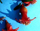 Punica granatum. Pomegranate. Flowers. Punicaceae