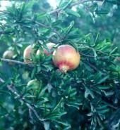 Punica granatum. Pomegranate. Fruits. Punicaceae