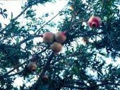 Punica granatum. Pomegranate. Shrub with fruits. Cana of Galilee. Punicaceae