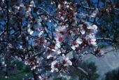 Pyrus malus. Apple. Flowers. Rosaceae