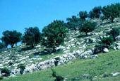 Quercus calliprinos-Pistacia atlantica forest near Zubia, Jordan. Fagaceae