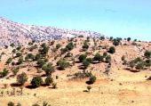 Quercus calliprinos. Degraded forest near Petra, Jordan. Fagaceae