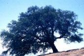 Quercus ithaburensis. Fagaceae